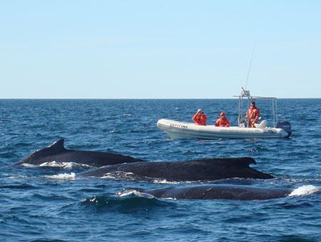 Wir haben Glück und sehen viele Wale